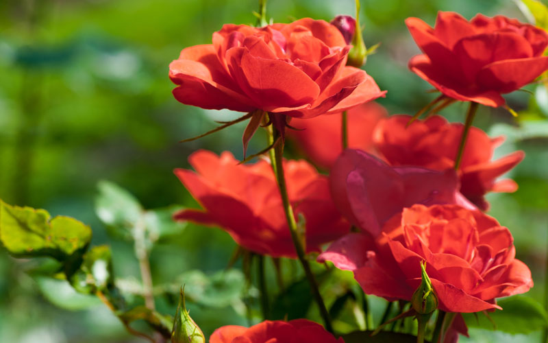 Guide To Starting A Rose Garden How To Care For Rose Bushes