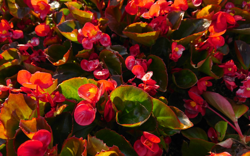 Wax Begonia How To Grow And Care For Wax Begonias Garden Lovers