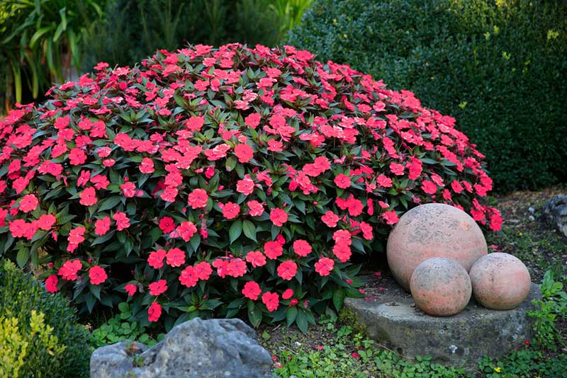15 Different Annuals For Shade Photos Garden Lovers Club