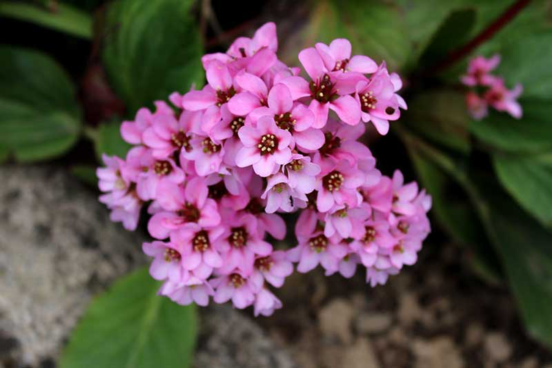 15 Pretty And Pink Perennials That Will Dazzle In Your Garden