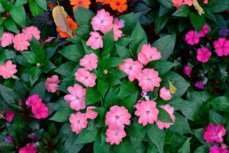 18 Annual Plants That Grow In Partial Shade Garden Lovers Club